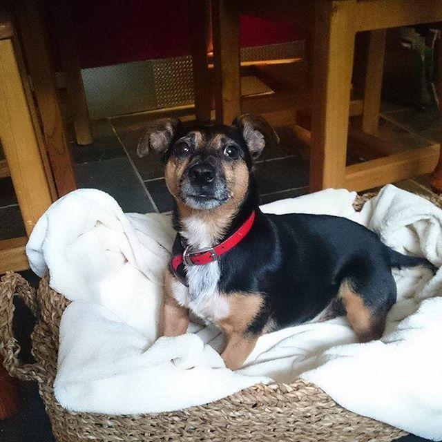 Happy Marmite in her new small size hogla dog basket