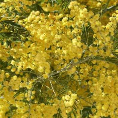 Image of Mimosa taken on a trip on the cote bleue while departing from maison saint jerome.
