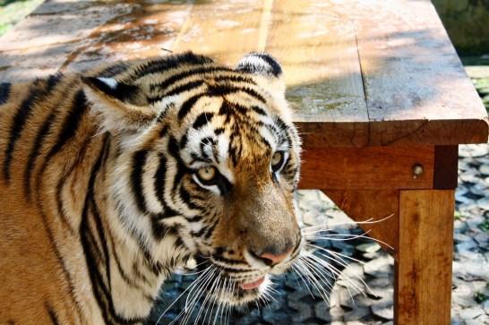 Tigre adulto no Tiger Kingdom em Chiang Mai na Tailândia