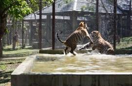Tigre adulto no zoológico de tigres em Chiang Mai na Tailândia