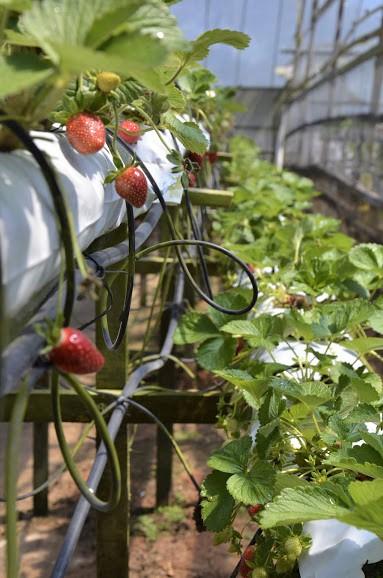 Raju's Strawberry Farm Cameron Highlands