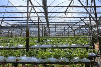 Raju's Strawberry Farm - Brinchang