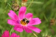 Marguerites colorées et abeilles, Anjou