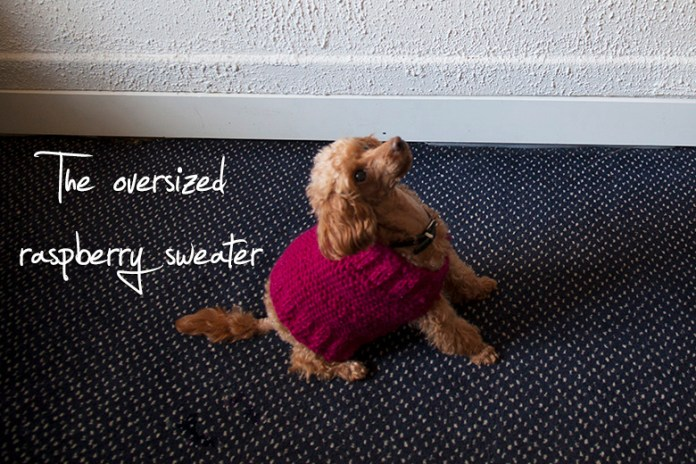 Fluffy apricot-colored toy poodle wearing a too large pink knitted sweater