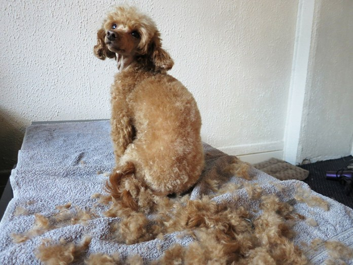 Freshly groomed toy poodle sitting on a towel, surrounded by fur