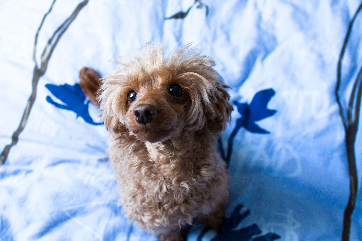 Fluffy apricot toy poodle sitting on blue bedsheets
