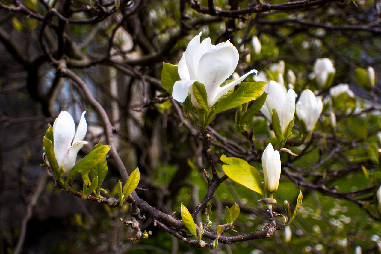 White magnolias on a branch