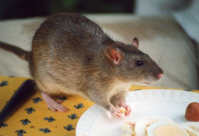 Cara Mengusir Tikus Dari Rumah Paling Ampuh  NamaNama Hewan
