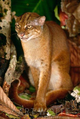 Kucing Merah Kalimantan Salah Satu Kucing Paling Langka