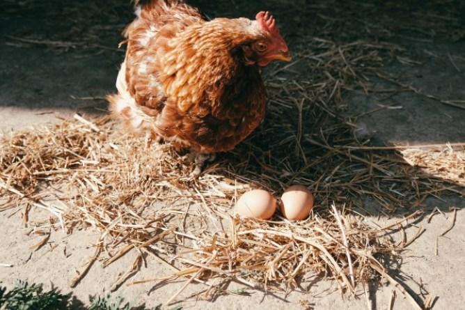 自由に遊ぶ鶏