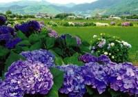 開成町あじさい祭り開花状況は?日程やイベント情報、駐車場は?