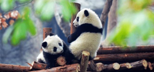 大熊猫  « L'ambassadeur de la paix »