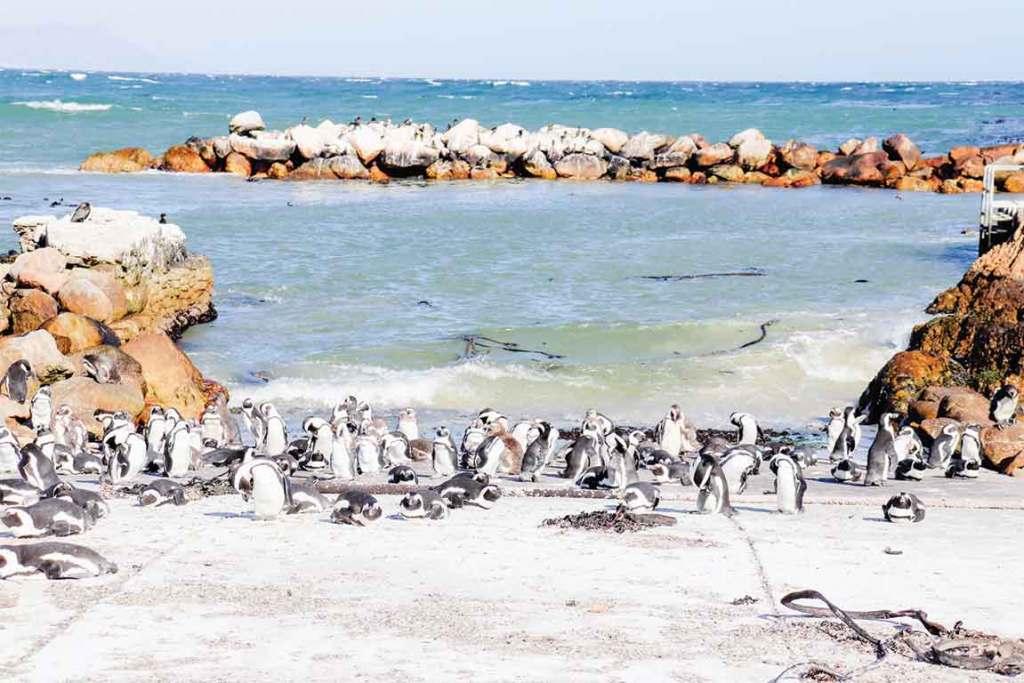 Cape town Boulder's Beach penguin colony