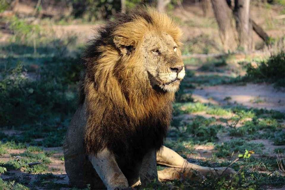 Londolozi lion king