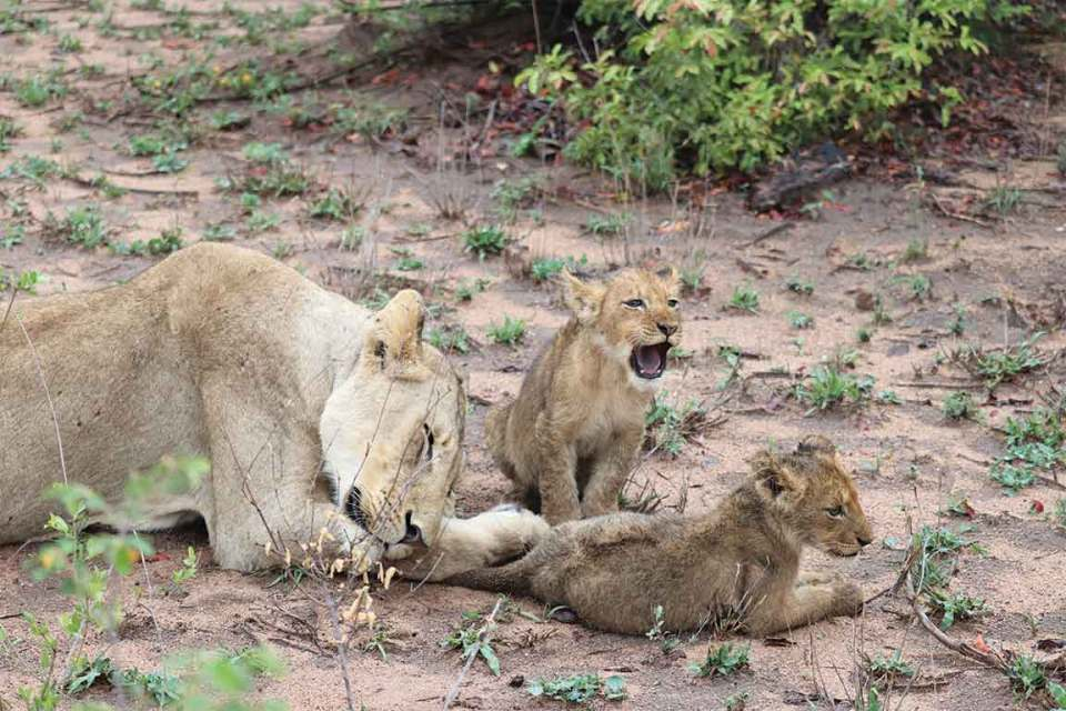Londolozi lion cub roaring