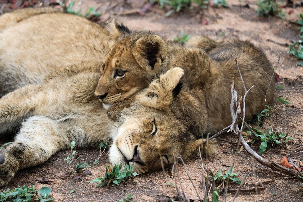 Londolozi lion and cubs