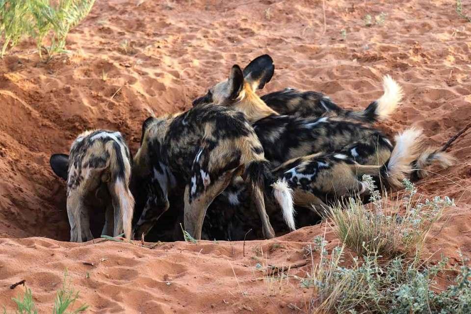 Tswalu Kalahari Wild Dogs