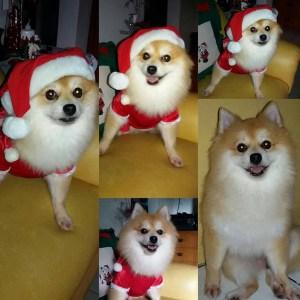 Oddie:  Pomeranian