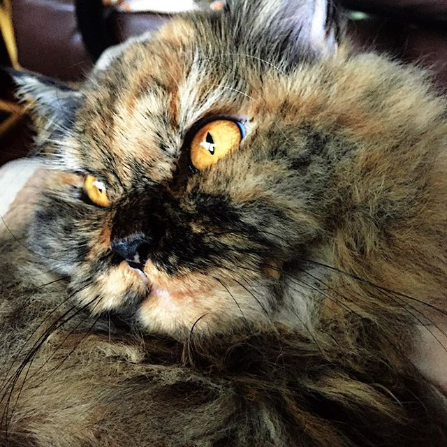 Ginger: Siberian Chantilly