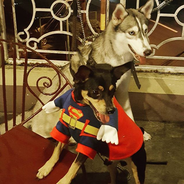 Sachi and Harley:  Mini Pinscher and Siberian Husky
