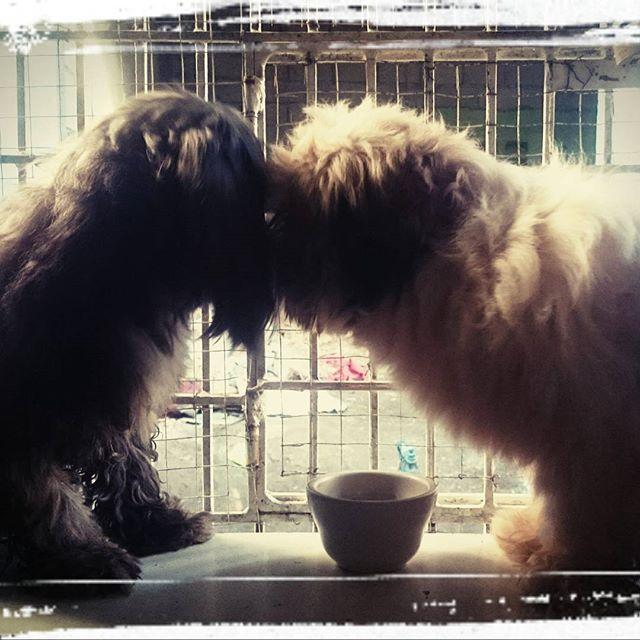 Prince and Chloe: Shih Tzuh