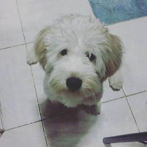 Ezekiel: Shihpoo & Terrier
