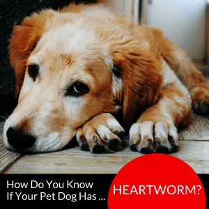 Heartworm Symptoms in the Philippines:  How Do You Know If Your Pet Dog Has Heartworm?
