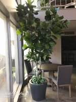 9ft Fiddle Leaf Tree