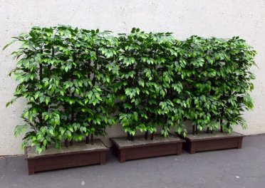 uv ficus hedges