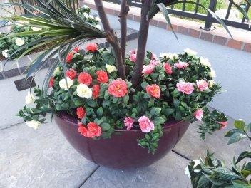 uv mixed azaleas