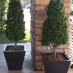 Our cone-shape boxwood topiary.