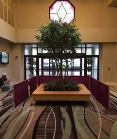 The Crowne Plaza Knoxville Downtown University in Knoxville, Tennessee is a prime example of how one tree, in this case, a custom Black Olive tree, can change a space for the better.