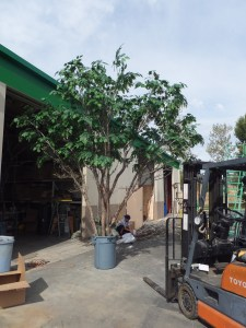 1st-completed-Oak-Tree