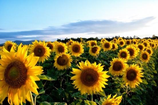 https://makedementiayourbitch.com/wp-content/uploads/2017/10/sunflower_yellow_flowers_215332.jpg