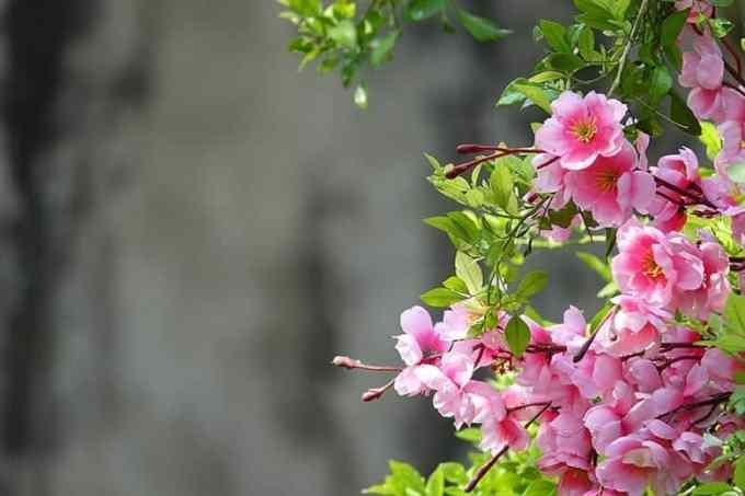 Ταπετσαρία Γκρι Φόντο Λουλούδια Ροζ Άνοιξη