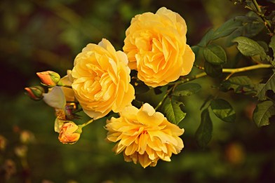 Valentine's Day Yellow Roses Images free