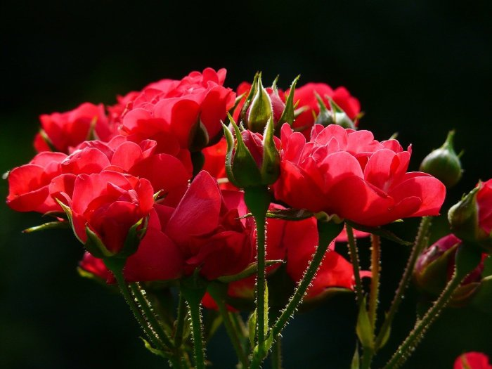 happy valentine's day Red Rose Day