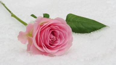 happy valentines day pink roses images