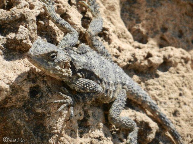 lizard- by David J. Lew- Earthquake Boy