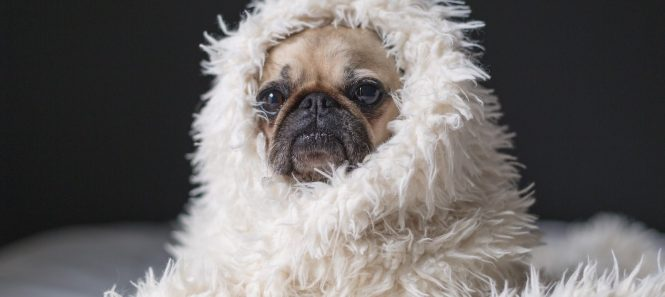 Content Pug Wred In White Furry Blanket