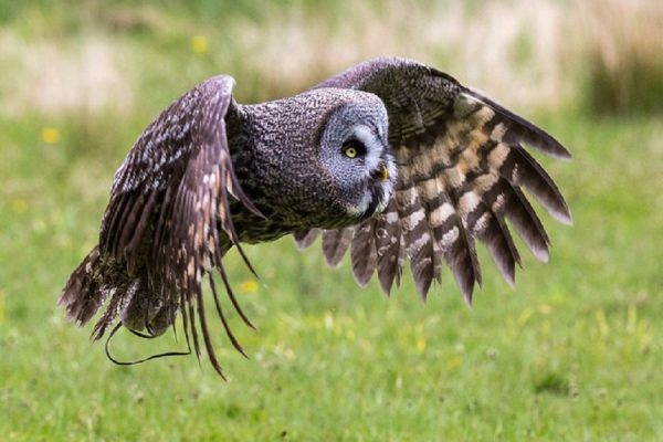 Great Grey Owl flying at Muncaster Castle