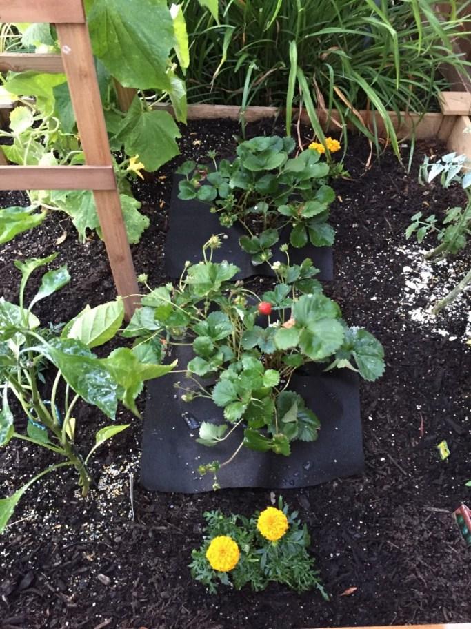strawberry-plants