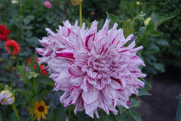 beautiful flowers at Butchart Gardens