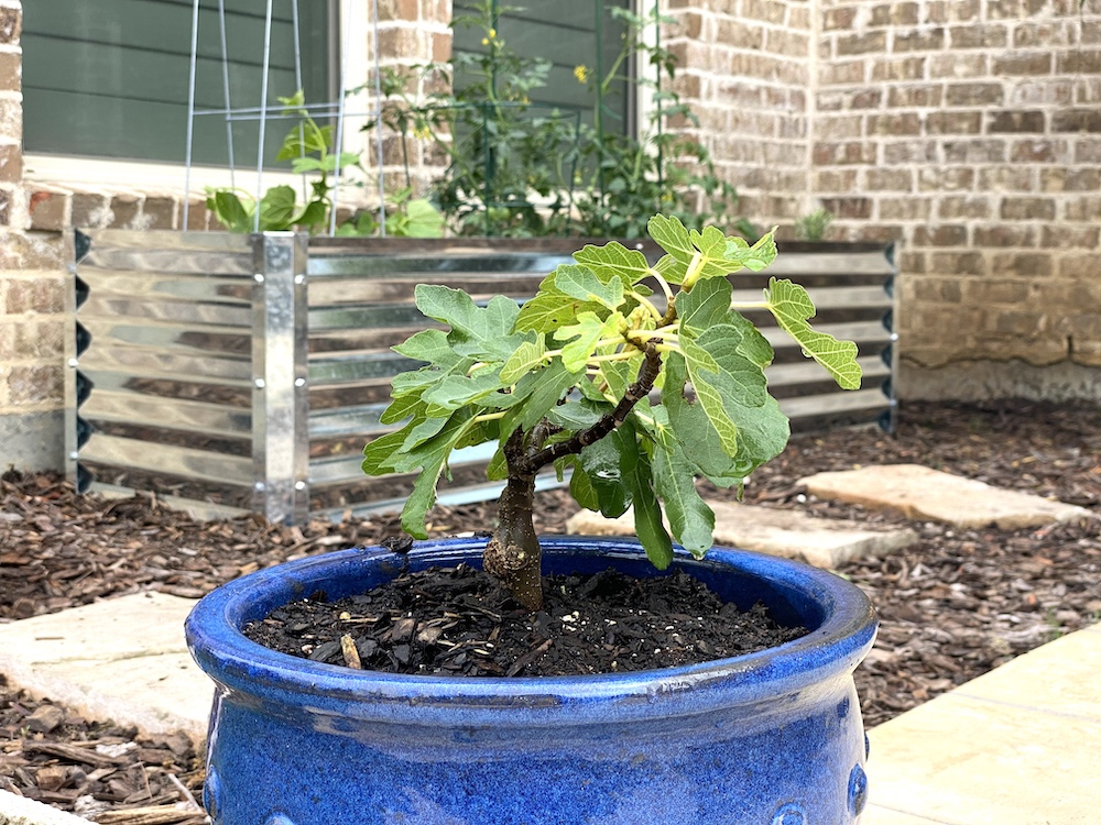 potted fig tree