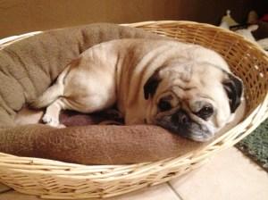 Ozzy, our Pug