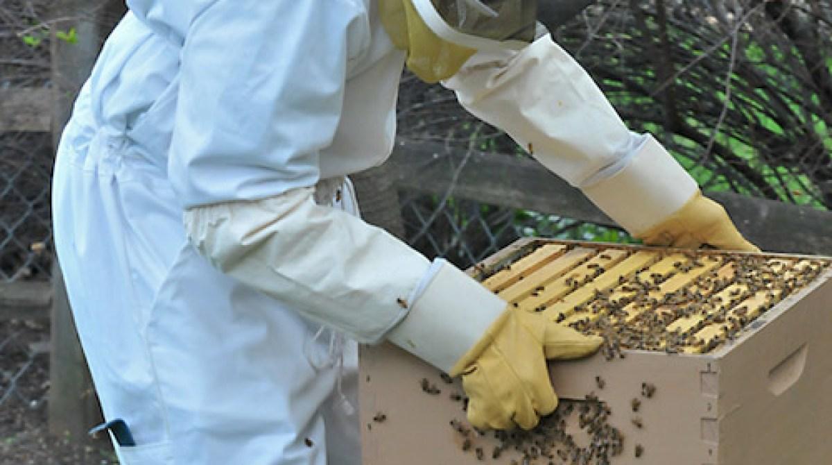 backyard beekeeping splitting a hive make