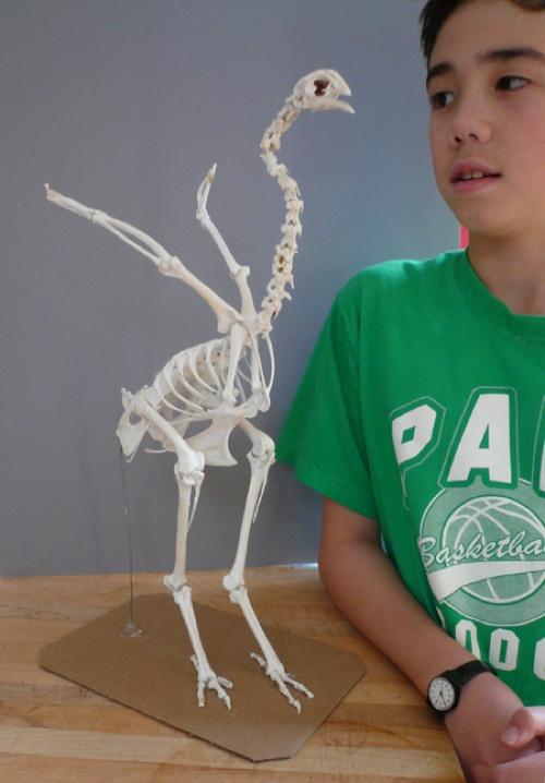Chickensaurus skeleton