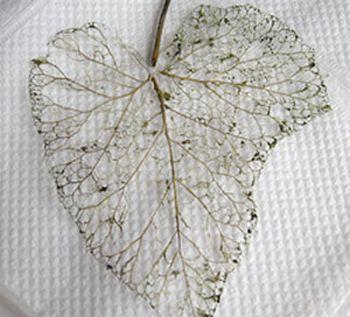 Skeletonizing leaves