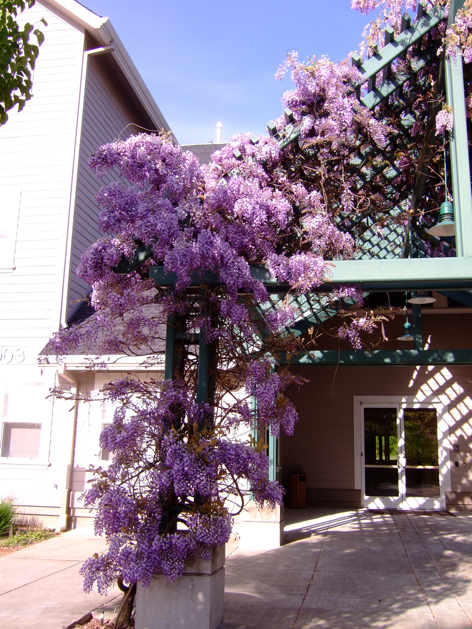 Wisteria at the O'Reilly Media Offices