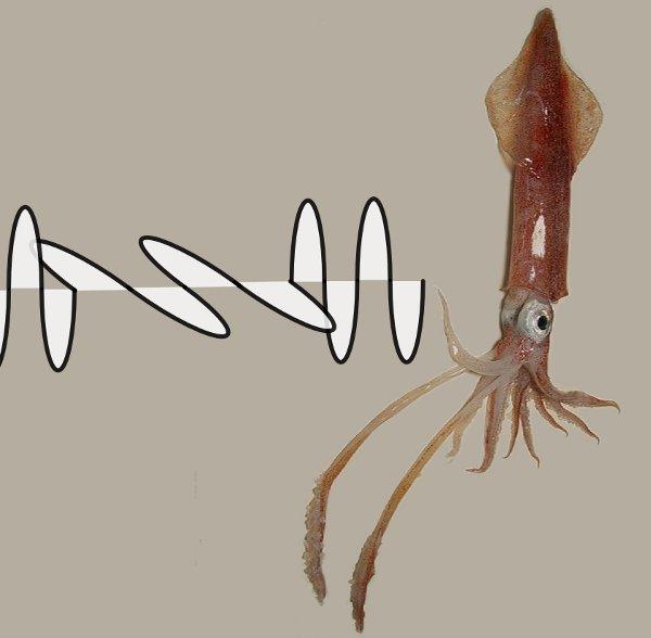 Do squid send secret messages using polarized light?